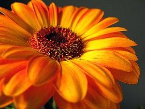 A brilliant orange gerbera daisy.