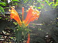 Orange flower in garden.JPG