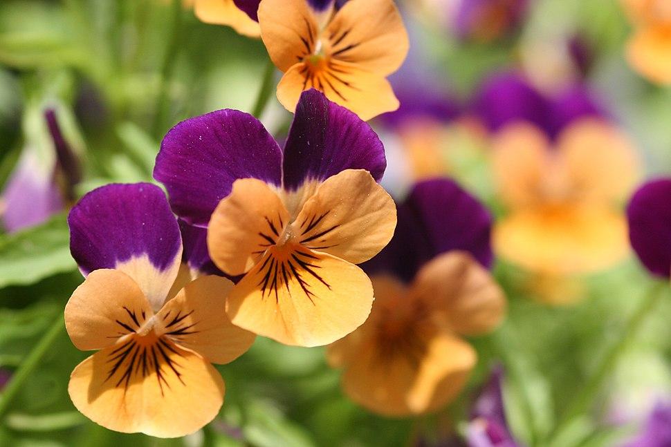 Orange violet pansies