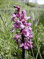 Orchidee1.1s.JPG