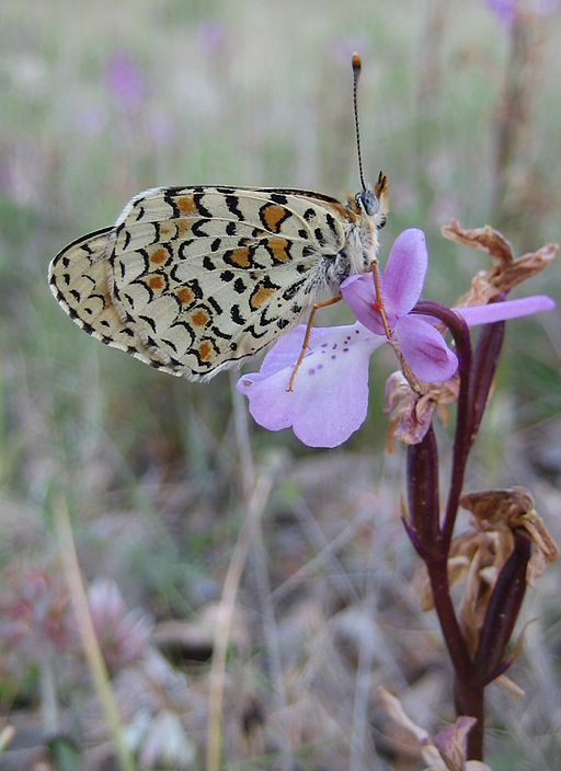 Orchis anatolica (with butterfly)- Nea Moni - Chios - 29 april 2008