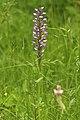 Orchis militaris LC0351.jpg