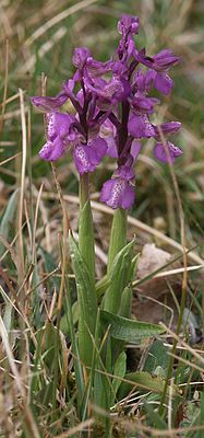 Orchis morio plants.jpg