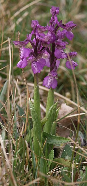Anacamptis morio - Green-winged orchid (A. morio) in bloom in meadow habitat