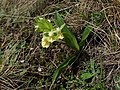 Orchis provincialis kz06.jpg