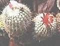 Oreocereus (Arequipa) rettigii.jpg