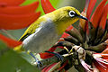 Oriental White-eye by N.A. Nazeer.jpg