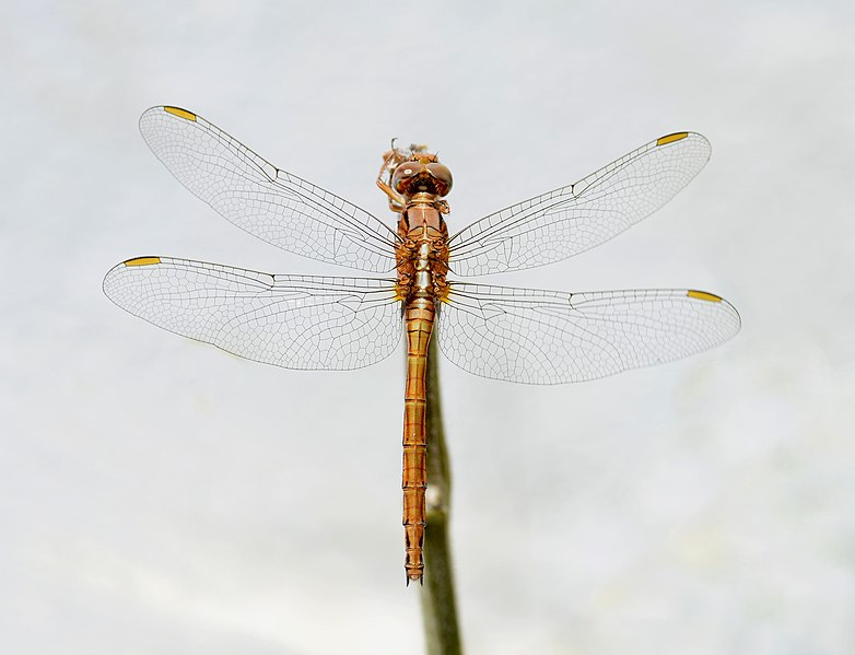 Fail:Orthetrum August 2017-1.jpg