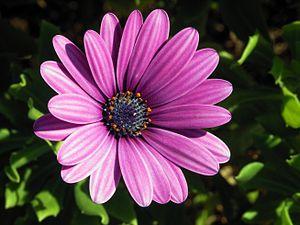 Flower genus Osteospermum (possibly Osteospermum ecklonis)