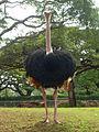 Ostrich01.JPG