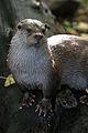 Otter (4043629046) (3).jpg