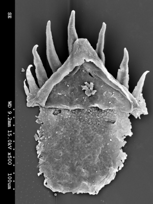 Priapulida - Microfossil of a priapulid tooth (Ottoia, Cambrian). From Smith et al. 2015