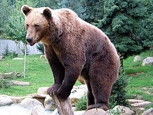 Bruna urso en la Pireneoj