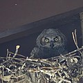 Owl (47647182841).jpg