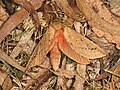 Oxycanus subvaria (41112126765).jpg