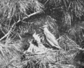 PSM V76 D545 Cedarbird at nest with full gullet.png
