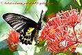 Pa Southern Birdwing 18 January 2008 H (2205550155).jpg