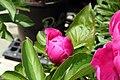 Paeonia lactiflora Little Medicineman 1zz.jpg