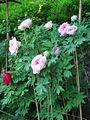 Paeonia suffruticosa12.jpg