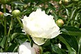 Paeonia x Bowl of Cream 2zz.jpg