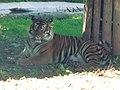Paignton , Paignton Zoo, Sumatran Tiger - geograph.org.uk - 1483331.jpg