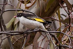 Painted Honeyeater (Grantiella picta) (8079677675).jpg