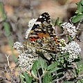 Painted Lady (38036446174).jpg