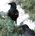 Pair of Corvus Coronoides.jpg