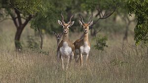 Blackbuck - Pair of blackbucks in Rehekuri Blackbuck Sanctuary (Maharashtra, India)