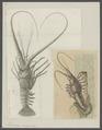 Palinurus marginatus - - Print - Iconographia Zoologica - Special Collections University of Amsterdam - UBAINV0274 096 16 0007.tif