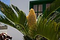 Palmera en Mancha Blanca 03.jpg