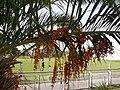 Palmeras en Trenque Lauquen (planta 02) foto 04.JPG
