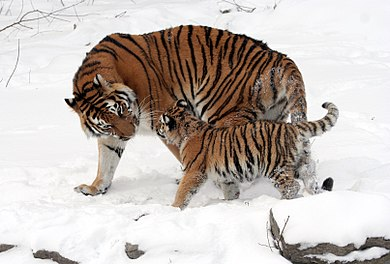 The Siberian tiger is an Endangered (EN) tiger subspecies. Three tiger subspecies are already extinct (see List of carnivorans by population). Panthera tigris altaica 13 - Buffalo Zoo.jpg