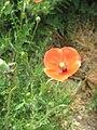 Papaver dubium002.jpg