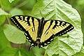 Papilio canadensis UL 01.jpg