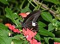Papilio helenus enganius (25161582659).jpg