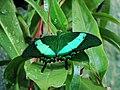 Papilio palinurus (Wroclaw zoo)-2.jpg