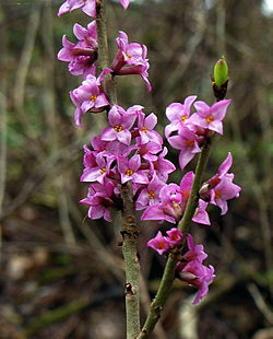 Daphne Mezereum Subsp Mezereum Wikispecies