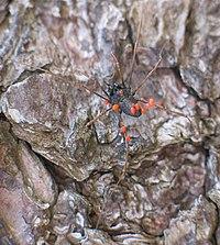 Mites parasitising a harvestman