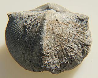 <i>Paraspirifer</i> genus of brachiopods