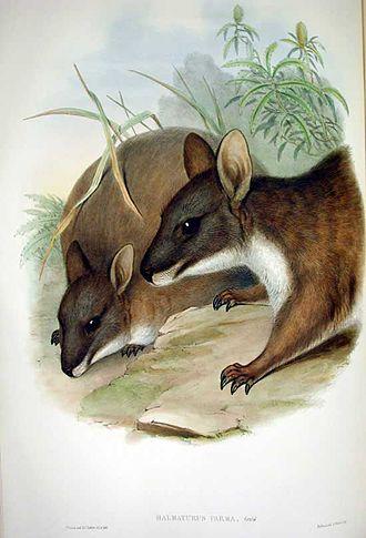 Parma wallaby - Image: Parma Wallaby