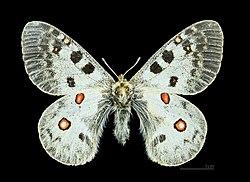 Parnassius phoebus MHNT CUT 2013 3 6 Arvieux female dos.jpg