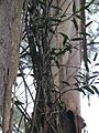 Parsonsia brownii 02.jpg
