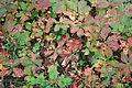 Parthenocissus quinquefolia 4285.jpg