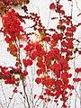 Parthenocissus tricuspidata IMG 4660.jpg