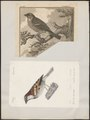 Passer domesticus - 1700-1880 - Print - Iconographia Zoologica - Special Collections University of Amsterdam - UBA01 IZ16000091.tif