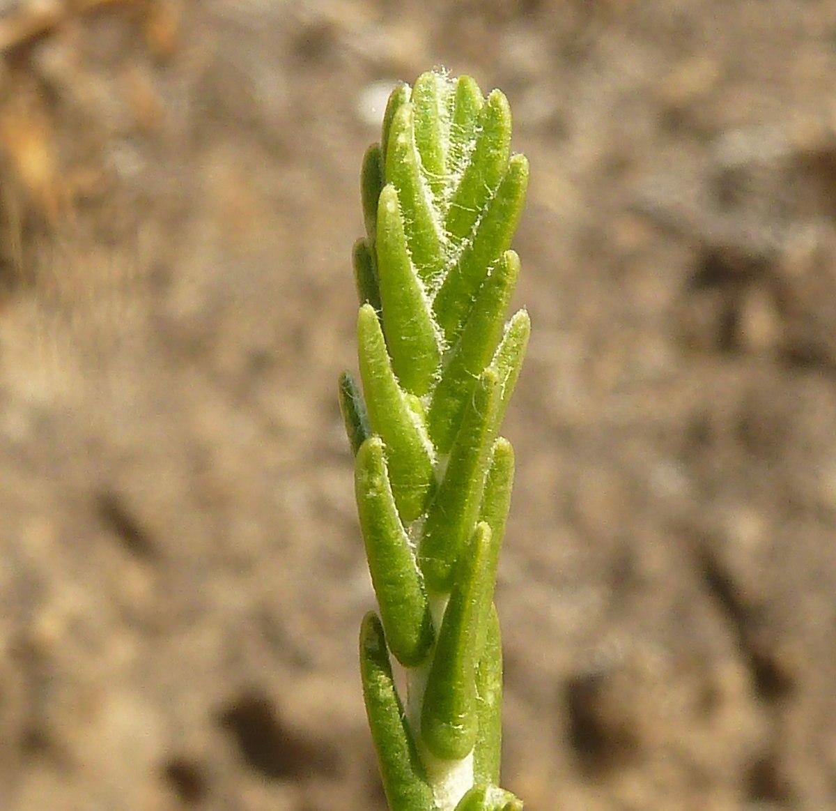 passerina  plant