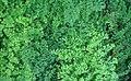 Passiflora coriacea 0zz.jpg