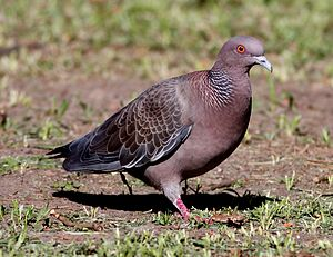 Picazuro pigeon - In Buenos Aires, Argentina