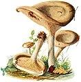 Paxillus-involutus-gramberg-1913-pilzederheimatei00gram 0025.jpg